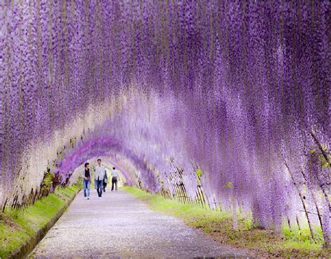 wisteria flower tunnel in japan 11 jaw dropping destinations ripped straight from a world of fantasy smatterist
