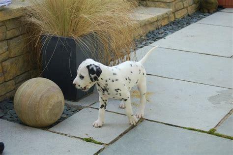 how much do dalmatian puppies cost dalmatian puppy jpg 2 comments hi res 720p hd