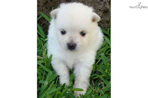 pomeranian for sale hawaii pomeranian puppy for sale near hawaii f6294401 1921