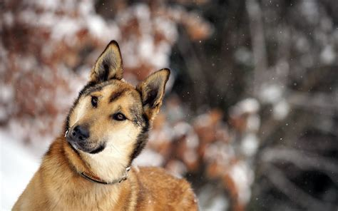 winter dogs dogs winter wallpaper high definition high quality widescreen