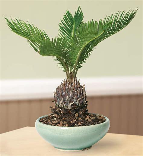 product   week beautiful bonsai trees