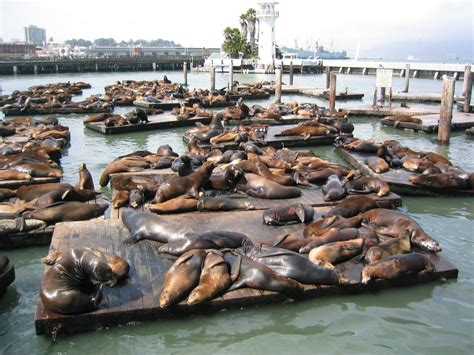 fisherman s sea lions at fisherman s wharf jigsaw puzzle in animals puzzles on thejigsawpuzzles com