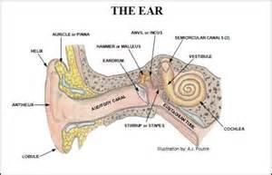 ear diagram 100 more photos