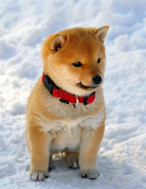 Its Out There For A Pup From The You Are A Photo Pool by Shiba Inu For All The Animal Out There