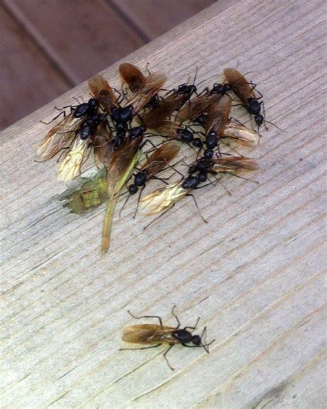 carpenter ant pest detective