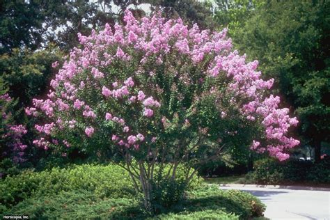 shade trees for small landscapes hgtv