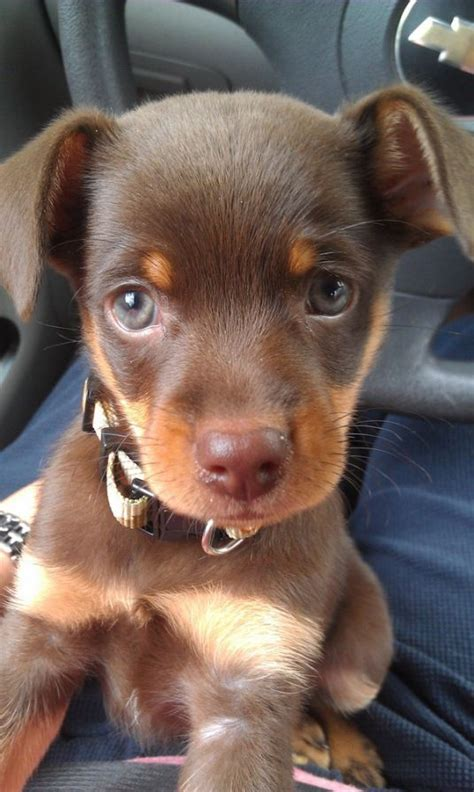 puppy pin liam the miniature pinscher puppy pictures daily