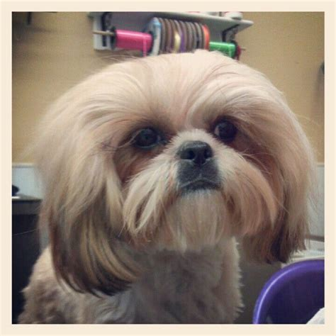 japanese shih tzu the 128 best images about dogs shih tzu grooming on diy maltese shih