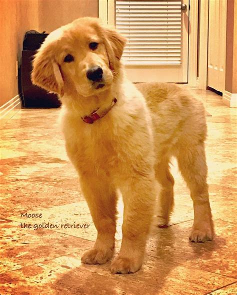 is a golden retriever a 25 best ideas about golden retrievers on