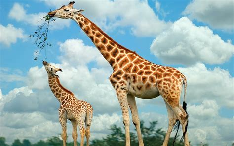 picture of eating giraffes