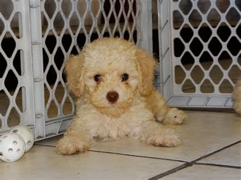 puppies for sale san francisco poodle puppies for sale in san francisco california ca 19breeders anaheim