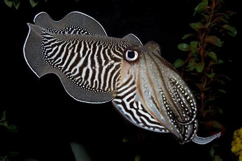 cuttlefish changing color live science scientific news articles and current events