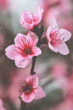 imagenes flores de cerezo flores de cerezos pertamini co