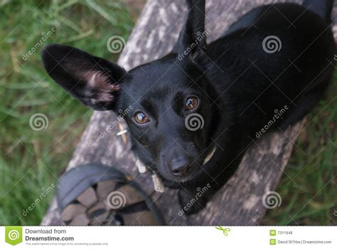 small black puppy small black royalty free stock photos image 7311948