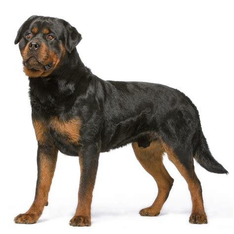 royal canin rottweiler rottweiler karakter en eigenschappen een rottweiler royal canin