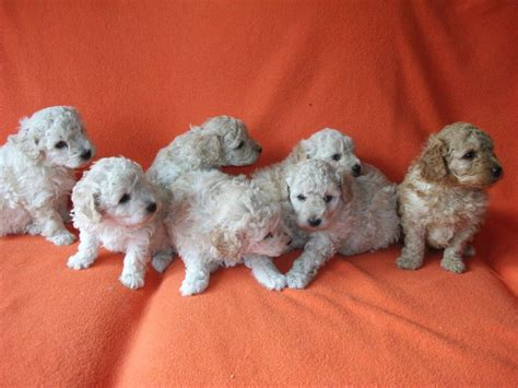 mini poodle puppies miniature poodle puppies spalding lincolnshire pets4homes