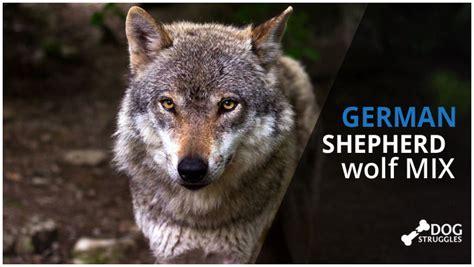 wolf german shepherd wolf hybrid german shepherd german shepherds breeds picture