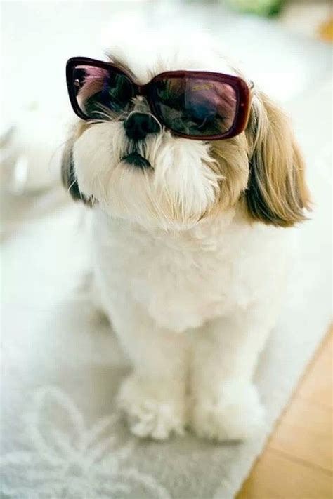 wall eyed shih tzu 17 best images about shih tzu quotes on
