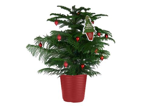 care   potted norfolk pine big blog  gardening