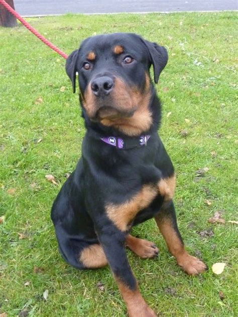 7 month rottweiler jager 7 8 month rottweiler for adoption