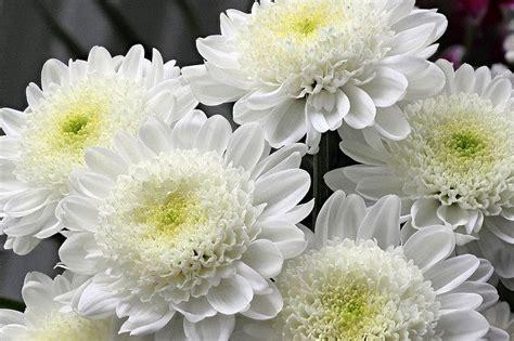 jual bunga krisan putih kecil  lapak rancupid farm