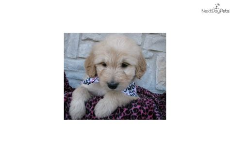 doodle puppies for sale in kansas macy goldendoodle puppy for sale near wichita kansas