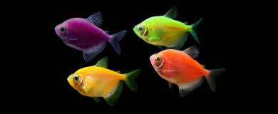 neon colored fish glofish 174 experience the glo 174