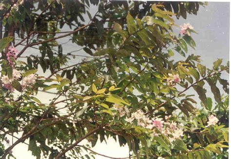 Biji Bunga Bungur Putih bungur media