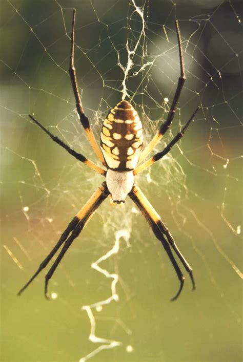 Garden Spider Handling Back Yellow Garden Spiders Facts Prevention