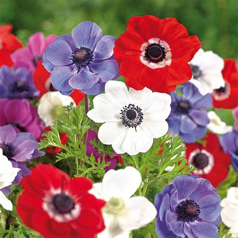 anemone de caen anemone de caen mixed bulbs departments diy at b q