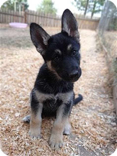 german shepherd puppies salem oregon adopted puppy salem or husky german shepherd mix