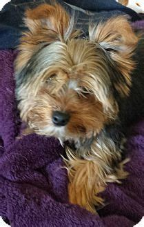 sc yorkie rescue 154 best images about yorkies who needs a home on gilbert o sullivan