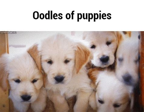 oodles dogs oodles ifunny