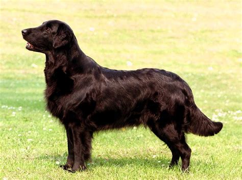 coat golden retriever liver flat coated retriever flat coat retriever
