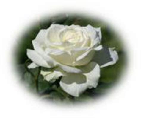 imagenes de rosas virtuales rosas blancas postales virtuales gratis