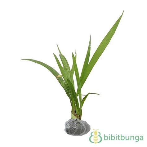 Obat Bibit Bawang Merah tanaman bawang sabrang bawang dayak bibitbunga