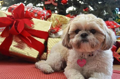 shih tzu stories shih tzu wallpaper wallpapersafari