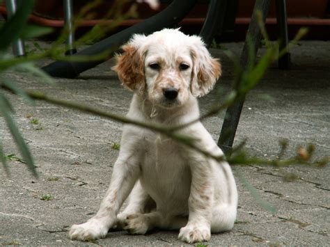 english setter dog images mr puppy pictures