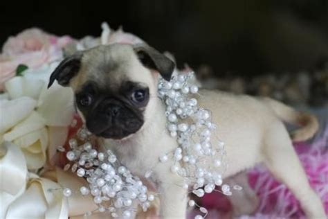 teacup pugs for sale in california the 25 best pug puppies for sale ideas on pugs pug puppies and baby pugs