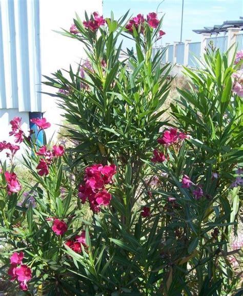 oleander plant homework 5 most poisonous plants