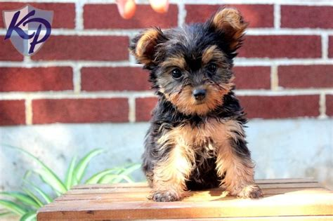 keystone puppies review 17 best ideas about terrier puppies on terrier