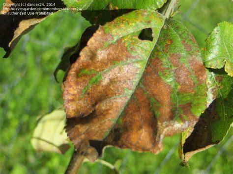 Backyard Pests by Garden Pests And Diseases Honeycrisp Apple Tree Leaf Disease 3 By Dancer24