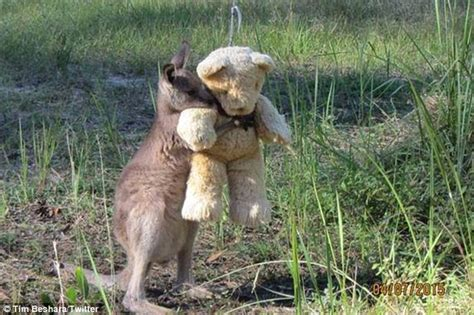 doodlebug the kangaroo doodlebug the kangaroo hugging teddy goes viral