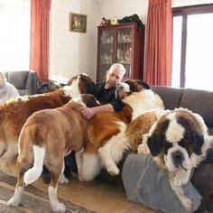 how much are bernard puppies 1000 ideas about st bernards on bernards bernard and st