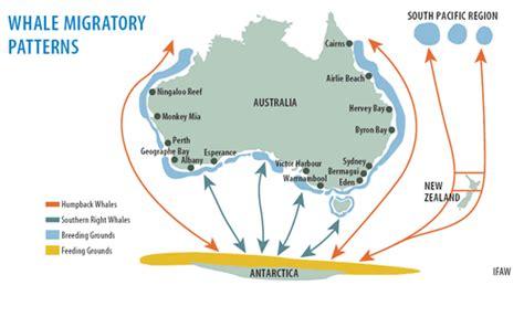 migration pattern of blue whale whale migration patterns around australia visit shark bay