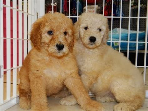 doodle puppies for sale california goldendoodle puppies for sale in san francisco