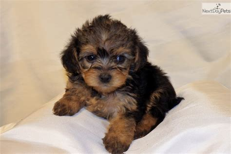 yorkie poo puppies for sale in arkansas yorkiepoo yorkie poo puppy for sale near rock arkansas ea3000ff 4261