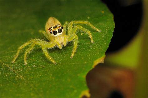 Garden Spider Florida Bite Telamonia Spider Urbanlegendsonline
