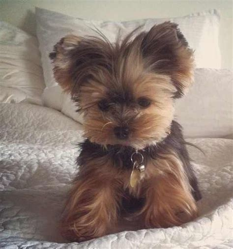 save a yorkie 1000 ideas about yorkie dogs on yorkie terriers and yorkie puppies