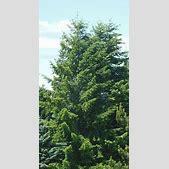 Douglas fir - W...